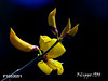 GINESTRA AETNENSIS - P1053051 (Felipe 1930) Tags: flowershop extracolor yourpreferredgroup mmmilikeit bestimagesever ~flickrland~ photographicworld yello4u fotográfosapasionado