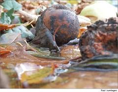 Faul rumliegen (to.wi) Tags: autumn mushroom herbst bltter apfel regen pilz faul nass fauler towi fulniss