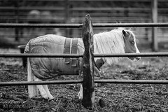 Rowdy in the Rain (Russ Beinder) Tags: bw horse canada rain barn miniature blackwhite bc rowdy pittmeadows 85mmf14