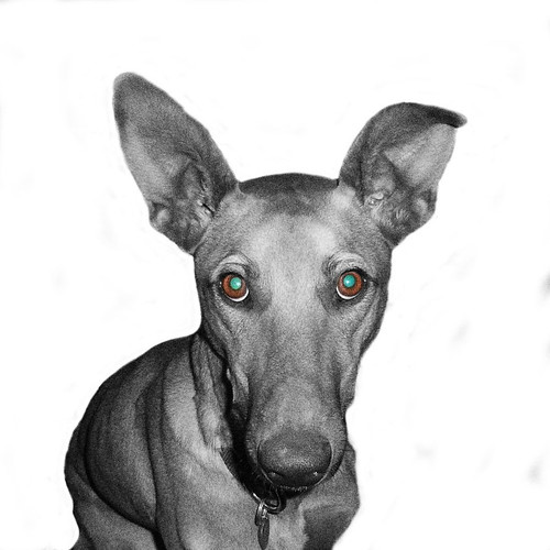 Keano the gorgeous podenco