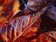 Frosty Leaves (Krittergirl....sick.stomach virus) Tags: leaves frost frostyleaves autumnfrost