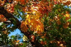 Fall colors in Austin (Flipintex Fotos. Back for now) Tags: flickr sigma autumncolors austintexas photowalk 2470 flipintexfotos