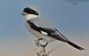 DSC_3798_5326 (khalid hamad خالد حمد محمد) Tags: from birds gray hamad khalid qatar shrike محمد حمد قطر الرمادي الصرد leesr طيورمن mخالد