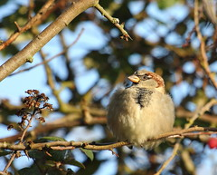 Fluffy Sparrow (RJP_Blob) Tags: uk autumn winter england tree bird nature birds canon berry branch dof bokeh wildlife fluffy sparrow twig housesparrow 100400mm hertfordshire 550d walkern fluffybird fluffysparrow