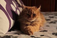 ginger (deadoll) Tags: cats cute love cat fur amber ginger furry kat feline chat amor adorable kitty kittens redhead caramel gata felinos felino felines neko katze fofo gatto babys gatti pur ruiva gingercat gatas caramelo
