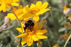 """Bumblebee • <a style=""""font-size:0.8em;"""" href=""""http://www.flickr.com/photos/27717602@N03/8210828058/"""" target=""""_blank"""">View on Flickr</a>"""