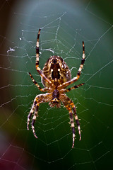 Spider (* Fred T *) Tags: macro closeup insect spider spiders critter web arachnid spiderweb insects creepycrawlers