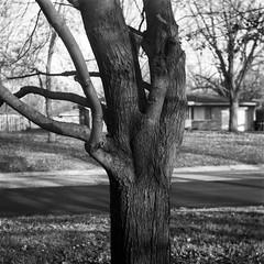 Tree (Jim Grey) Tags: 120 film ansco
