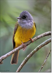 Grey headed Canary flycatcher (Gurusan2010) Tags: grey canary headed flycatcher culicicapa ceylonensis