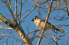 titmouse in tree (loco's photos) Tags: tree bird pentax dogwood titmouse tufted tuftedtitmouse k30 dal55300