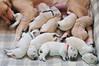 1 week old ! (.:: Maya ::.) Tags: dog baby one golden puppies retriever litter week mayaeye mayakarkalicheva маякъркаличева