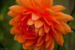 orange dahlia (loobyloo55) Tags: dahlia orange flower nature canon flora floraandfauna canon7d flowerthequietbeauty