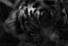 Sumatran Tiger (iamthetigress) Tags: blackandwhite bw sandiego tiger sumatrantiger wildanimalpark safaripark sandiegozoosafaripark