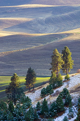 Palouse Ponderosa Pines (Ryan McGinty) Tags: winter landscape washington farmland fields palouse whitmancounty kamiakbutte ponderosapines ryanmcginty