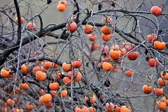 La terra dei cachi (ste.it) Tags: autumn orange tree fruits branches persimmon albero autunno frutta rami cachi kaki caco frutti diospyros