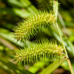 CT563 Spikey Seeds (listentoreason) Tags: usa plant color green nature grass closeup america canon newjersey unitedstates favorites places floweringplant angiospermae monocot liliopsida magnoliophyta angiosperm score35 ef28135mmf3556isusm northbranchpark poales commelinids