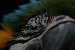 ararauna, Romo (aracobis) Tags: portrait france nature canon zoo oeil jungle bec fragile lorraine chaud ara oiseaux brsil moselle animalier sigma150f28 parczoologiquedamnville