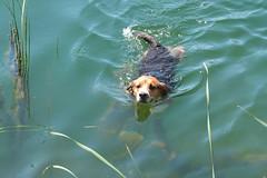 P1030451-5 (hohash) Tags: beagle jagdhund