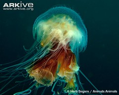 ARKive image GES098391 - Lion's mane jellyfish (GrrrrlE) Tags: lionsmanejellyfish newjerseyusa cyaneacapillata animalsanimals arkive wwwarkiveorg invertebratesmarine ges098391 herbsegars
