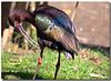 White-faced Ibis (Betty Vlasiu) Tags: bird nature wildlife plegadis ibis whitefaced chihi freedomtosoarlevel1birdphotosonly