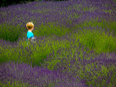 Lost in a Lavender Sea (1bluecanoe) Tags: flowers boy summer landscape child lavender sequim wa 2012 scented lavenderfields 1bluecanoe