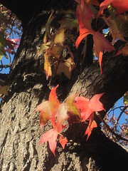 Red Maple Leaves (shaire productions) Tags: nature photography photo natural image photograph imagery sherriethai shaireproductions