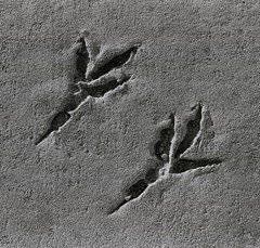 (Jens Riis) Tags: macro bird feet canon concrete 100mm imprint claws eos3 insitu petrifaction portofaarhus