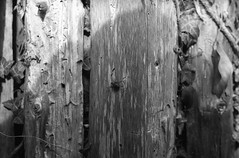 Buzzer (EXA 1b, Agfa APX 100) (baumbaTz) Tags: door wood shadow summer blackandwhite bw monochrome germany deutschland fly blackwhite leaf atl sommer 28mm 49 brest m42 apx100 sw 100 monochrom grayscale agfa schwarzweiss blatt leafs holz bltter schatten apx manualfocus analogphotography exa tr stade 2012 fliege 2200 greyscale 1b niedersachsen lowersaxony jobo hanimex harsefeld adox autolab analoguephotography agfaphoto atomal wohlerst atl2200