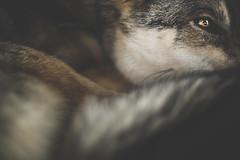 Lyra (Dynamutt) Tags: dog husky german shepherd mix northern breed eye dark portrait souldogstudios alaskan malamute pets indoor canon 50mm 14
