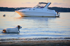 Jack in the Water (mikecosmo) Tags: capecod cape cod ma massachusetts 2016 q3 july ocean outdoors outside water wallpaper boat dusk sunset summer dog