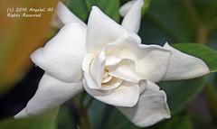 Gardenia Glory (AngelaC2009***) Tags: 2016 august riverview florida summer flower gardenia macro canoneosdigitalrebelxt thebestofmimamorsgroups