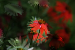 Abstract Nature (CCphotoworks) Tags: flowers summer abstract nature gardens echinacea doubleexposure july daisy coneflower blooms redandwhite perennials blooming natureabstract redandwhiteflowers