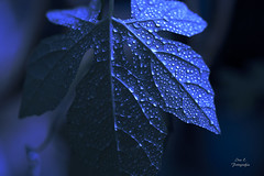 Dew kissed (Ivannia E) Tags: drops gotas waterdrops leaf dewdrop blue azul color absoluteblue