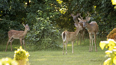 DSC_1834 (Angel Cher ) Tags: fawn whitetailed deer