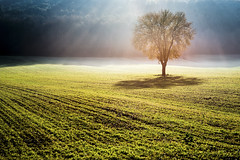 Alone in the light (MauMar_70) Tags: tree fog sunset backlight magic httpswwwflickrcomphotostagstramonto