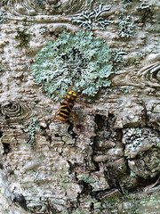 [Xylotrechus villioni]... (necydalis) Tags: longicorn beetle insect bug mimicking nature entomology japan japanese iphone coleoptera cerambycidae forest