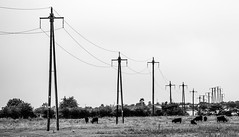Poles . Electricity . (CWhatPhotos) Tags: wood light shadow shadows cwhatphotos view photographs photograph pic pics photo photos images image foto fotos that have which contain with canon 5d mk iii eos dslr sacriston county durham summer august 2016 time 100mm prime lens zoom tree trees colors colours field farm telegraph poles pylon pylons electric cows livestock distant distance grey sky skies black white mono monochrome