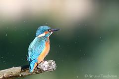 5358 (Arnaud Faucheron) Tags: canon canon7dmarkii 7dmarkii sigma120300mmf28apoexdgos sigma martinpecheur martin kingfisher kingfishe bird oiseau plume poisson fish fishing fisher