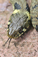 Grass snake , Natrix natrix (6)_filtered (Geckoo76) Tags: grasssnake snake natrixnatrix
