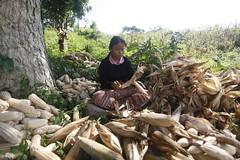 SBC_2015_31Aug_15 (susancorpuz90) Tags: zamboangadelsur cornharvest samal tukuran susancorpuz food foodsecurity