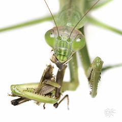 20160911 PSU Great Insect Fair-4 (Frost Museum) Tags: greatinsectfair psu entomology outreach isa betancourt isabelle september 2016 insects pennstateuniversity macrophotography insect photography grasshopper nom praying mantis mantid mantodea