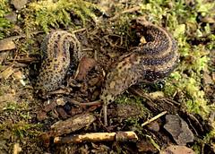 Leopard Slugs Limax maximus (bugldy99) Tags: slug gastropod animal nature outdoors gastropoda