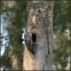 Green Woodpecker (Full Moon Images) Tags: rspb sandy lodge thelodge wildlife nature reserve bedfordshire bird green woodpecker