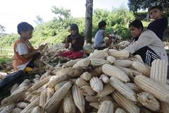 SBC_2015_31Aug_12 (susancorpuz90) Tags: zamboangadelsur cornharvest samal tukuran susancorpuz food foodsecurity