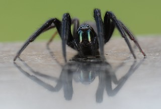 Segestria florentina, Tube Web Spider (one of two images)