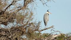 Heron cendre au parc ornithologique du pont de Gau - Grey Heron (frimoussec) Tags: heron cendre au parc ornithologique du pont de gau grey oiseau bird aquatique echassier