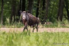 Je fais la belle. (suzukigsxr67700) Tags: sanglier boar animalier canon