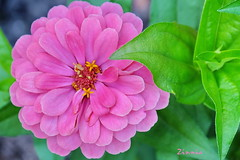 I am... (zinnia2012) Tags: zinnia pink flower foliage fleur rose feuillage