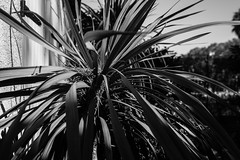 The Day of the Triffid (John fae Fife) Tags: france noiretblanc contrast monochrome plant bw blackandwhite villeneuvelsbziers languedocroussillon hrault nb