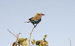 Kruger NP, Lilac-breasted Roller (mstoecklin) Tags: krugernp lilacbreastedroller